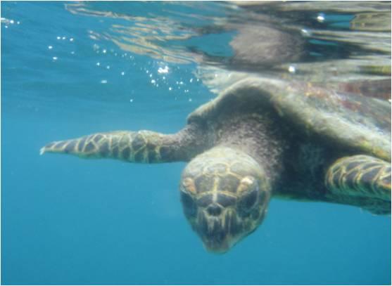 Schnorcheln mit Meeresschildkröten, Meeresschildkröte unter Wasser