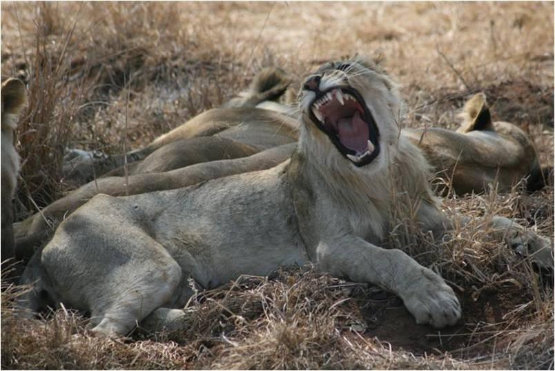 Löwen-Weibchen, gähnende löwin