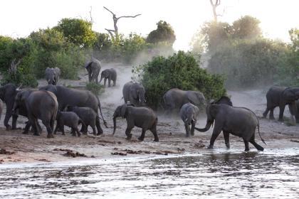 Elefantenherde im Chobe Nationalpark, Botswana