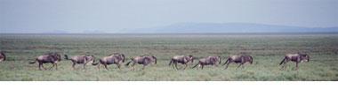 Gnuherde, Gnuwanderung, Gnus in Afrika, Herde
