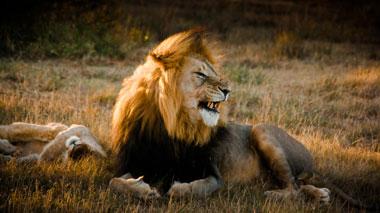 Löwe, Löwen im Krüger Nationalpark