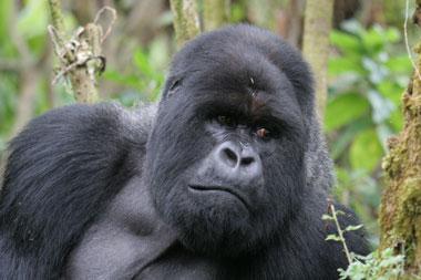 Berggorilla, Gorilla, Menschenaffe, Silberrücken