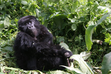 Gorillababy, Berggorilla-Baby, Berggorilla, Menschenaffe