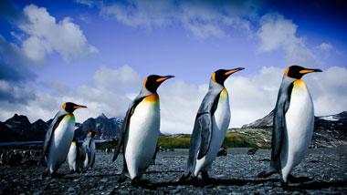 Königspinguine, Pinguin Parade, Südgeorgien Pinguine