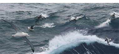 Wanderalbatrosse im Flug, Delphine im Sprung